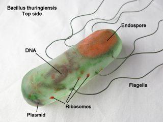 bacillus_thuringiensis_paperweight_by_trilobiteglassworks-d6s4j0i